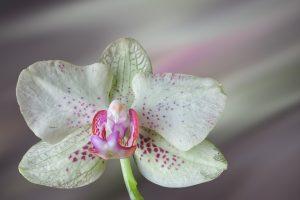 Conheça um Pouco Sobre as Belas e Fascinantes Orquídeas